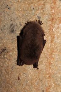 Feuchte Gemäuer sind bevorzugte Winterquartiere vieler Fledermäuse. Foto: Imke Zwoch