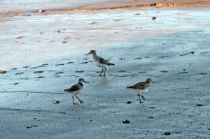 Rastvögel im Wattenmeer. Foto: Imke Zwoch
