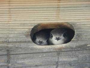 Mauersegler im Nest. Foto: Klaus Roggel / BUND