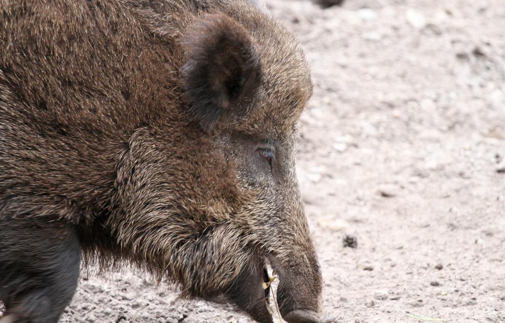 Wildschwein. Foto: BUND